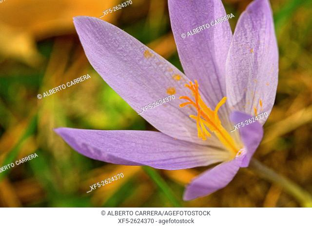 Autumn Crocus, Naked Lady, Colchicum autumnale, Valsain Forest, Guadarrama National Park, Segovia, Castilla y León, Spain, Europe