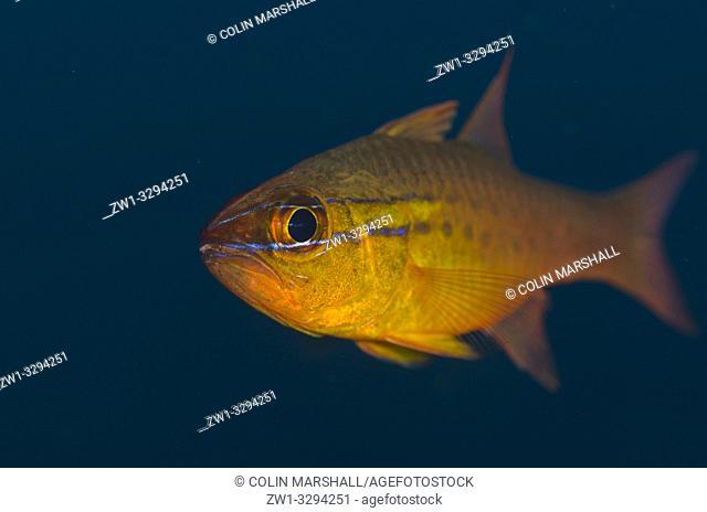 Goldbelly Cardinalfish (Ostorhinchus apogonides), Pong Pong dive site, Seraya, near Tulamben, Bali, Indonesia