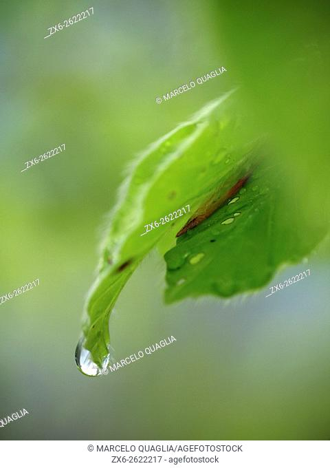 Rain water droplet over beech tree leaf (Fagus sylvatica). Montseny Natural Park. Barcelona province, Catalonia, Spain
