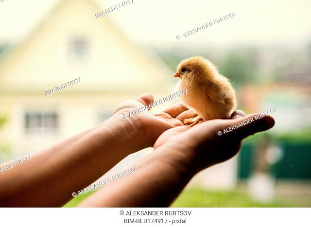 Hands holding chick