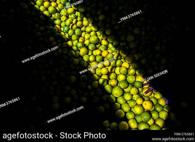 Fingers of an Afro-Colombian worker loading green oranges (for juicing) into baskets are seen in a storage room of the fruit market in Barranquilla, Colombia