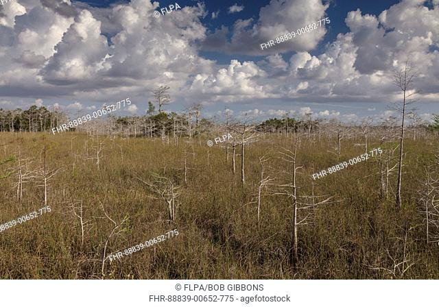 Dwarf Swamp Cypress forest, Taxodium distichum, just above sea-level in the Everglades National Park, Florida