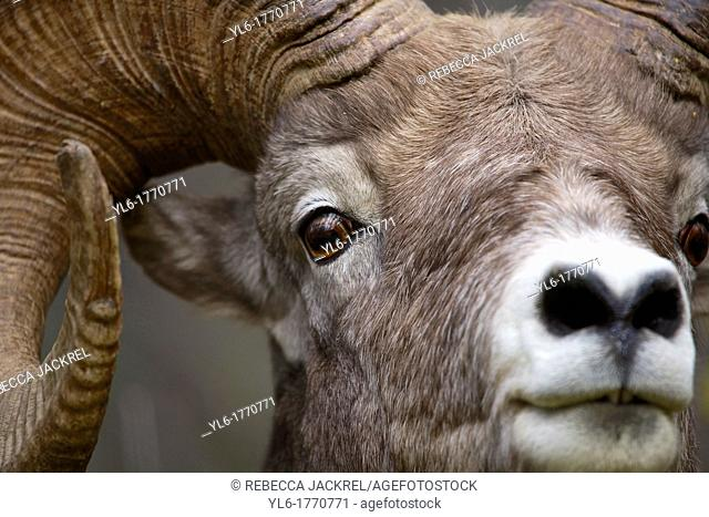 Close up of a rocky mountain bighorn sheep Ovis canadensis canadensis in Jasper National Park, Alberta, Canada