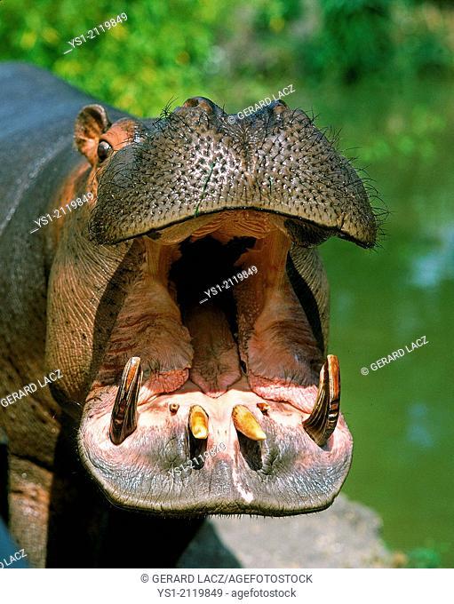 Hippopotamus, hippopotamus amphibius, Adult Yawning, with Open Mouth