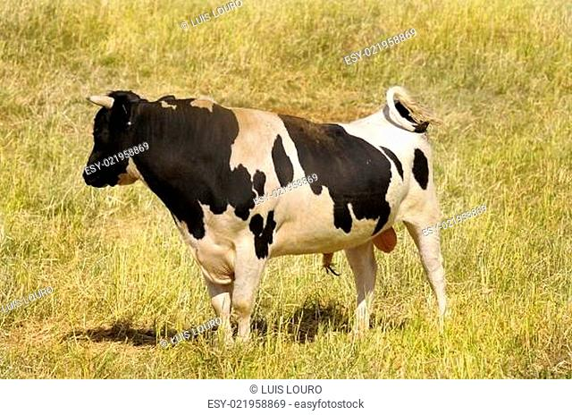 Spotted bull