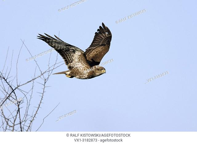 Common Buzzard ( Buteo buteo ), adult, taking off from a leafless bush, starts hunting flight, against clean blue sky, wildife, Europe