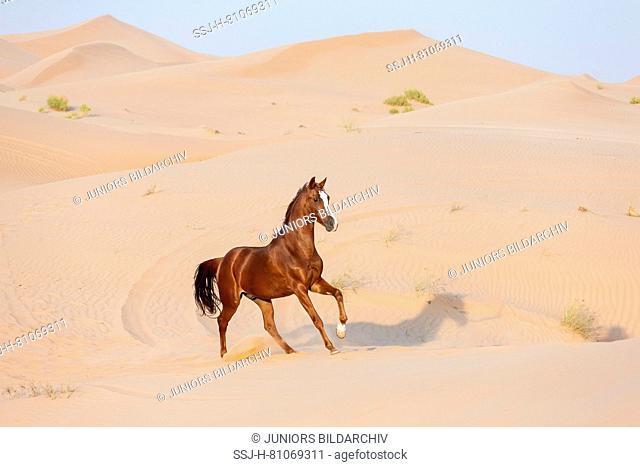 Barb Horse. Chestnut gelding galloping in the desert. Abu Dhabi