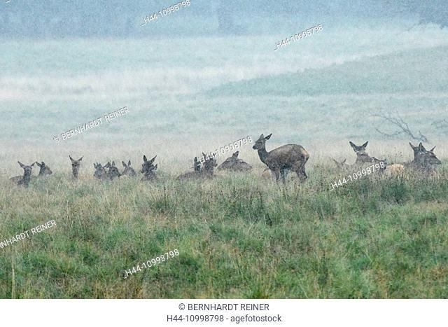 Red deer, rutting season
