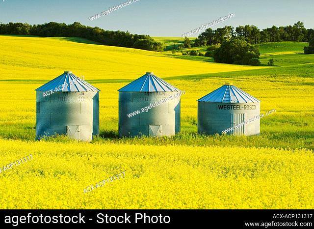 old grain bin bins in a bloom stage canola field, near Somerset , Manitoba, Canada