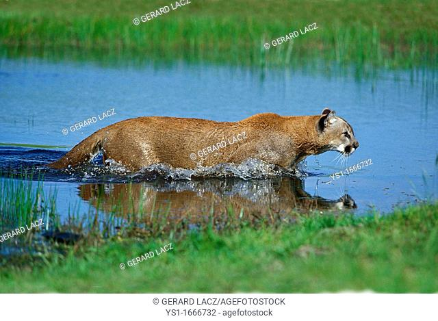 Cougar, puma concolor, Adult standing in Water, Montana