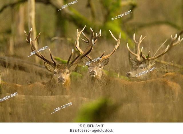 Red deer in Willow woodland of the Oostvaardersplassen