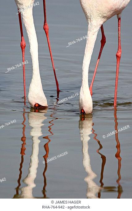 Lesser flamingo Phoeniconaias minor, Lake Nakuru National Park, Kenya, East Africa, Africa