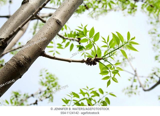 Spring leaves on a White Ash, 'George Washington ' Praxinus Americana