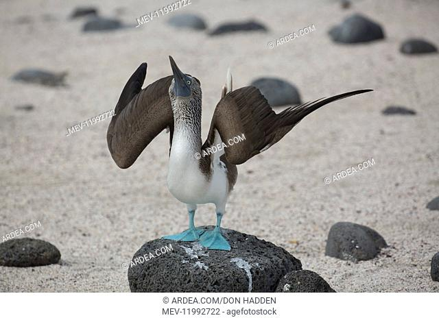 Blue-footed Booby -An adult on North Seymour Island - Galapagos Islands Blue-footed Booby -An adult on North Seymour Island - Galapagos Islands