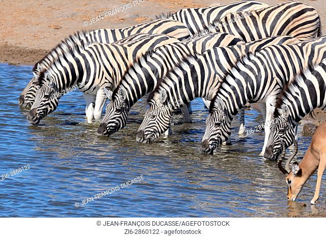 Herd of Burchell's zebras (Equus quagga burchellii) and Black-faced impala (Aepyceros melampus petersi), drinking at waterhole, Etosha National Park, Namibia