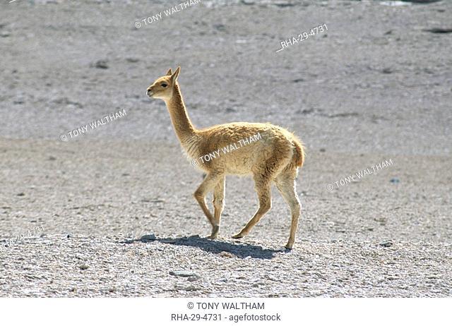 Vicuna wild on altiplano, southwest highlands, Bolviia, South America