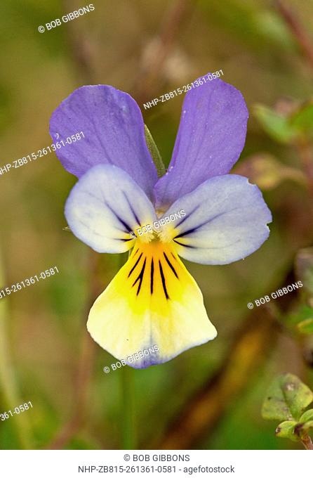 Mountain form of Heartsease / Wild Pansy, Viola tricolor ssp. alpina; Vercors mountains, France