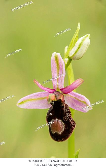 Orchid flower in Spring on a green grass background, Montseny, Spain