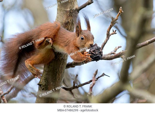 Squirrel, Sciurus vulgaris, on a nut tree
