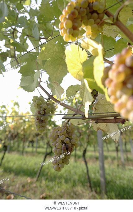 White grapes in vineyard, close-up