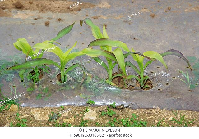 Maize Zea mays forage crop, young plants growing under plastic, Lincolnshire, England, june