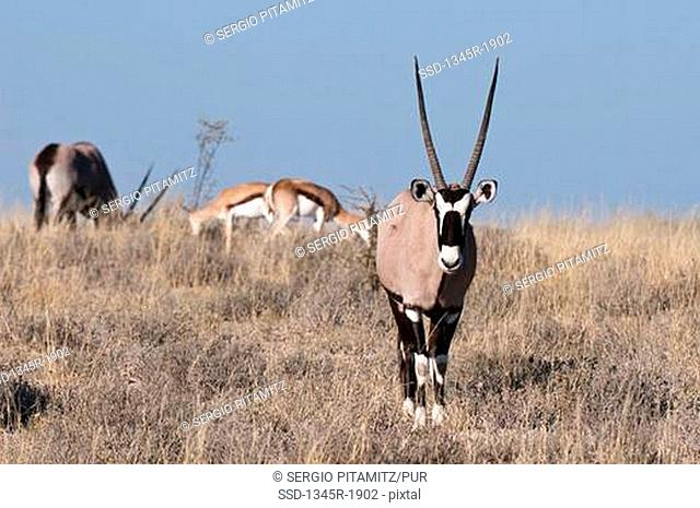 Gemsbok Oryx gazella in a field, Deception Valley, Central Kalahari Game Reserve, Botswana