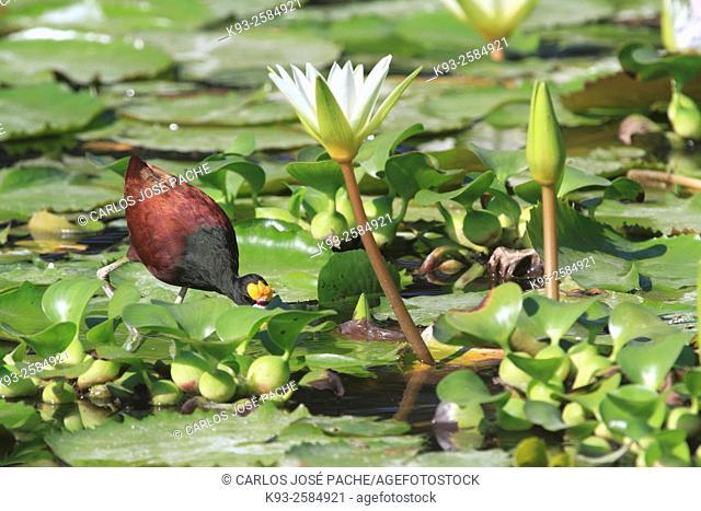 Jacana centroamericama, Jacana spinosa-Jacana). Parque Nacional de Palo Verde, Costa Rica
