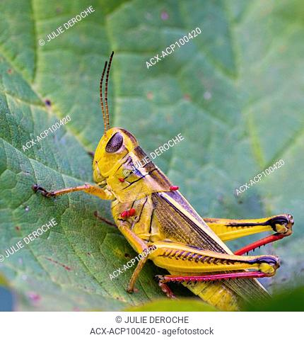 Close up of Grasshopper perched on a leaf in north eastern Ontario, Canada