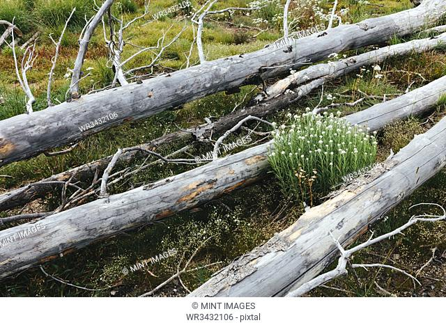 A previously burnt subalpine forest rebounds in summer with lodgepole pine and a variety of wildflowers, yarrow and woodrush