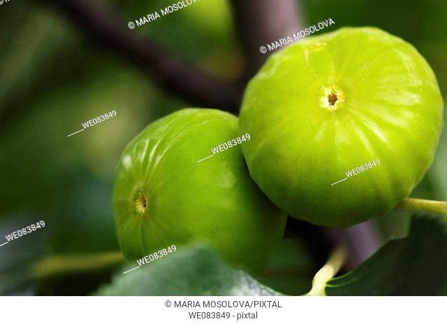 Green Figs Ripening on a Garden Tree. Ficus carica