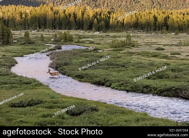 Mule Deer Buck crosses Tuolomne River in Yosemite National Park CA USA World Location