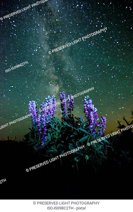 Lupins (Lupinus polyphyllus) growing in foreground, Milky Way visible in night sky, Nickel Plate Provincial Park, Penticton, British Columbia, Canada