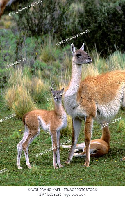 CHILE, TORRES DEL PAINE NAT'L PARK, GUANACOS, MOTHER WITH BABY (CHULENGO)