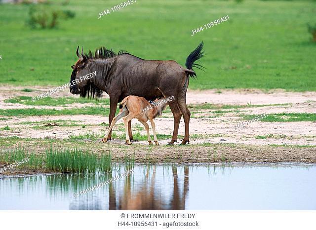 Botswana, Africa, gnus, Savuti, animals, nurse, water hole