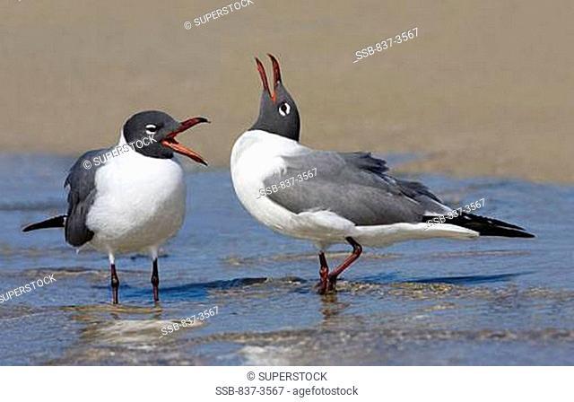Pair of Laughing gulls Larus atricilla calling