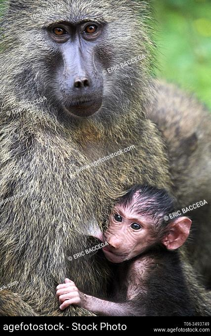 Olive baboon (Papio hamadryas anubis) baby with its mother, Kibale National Park, Uganda, Africa