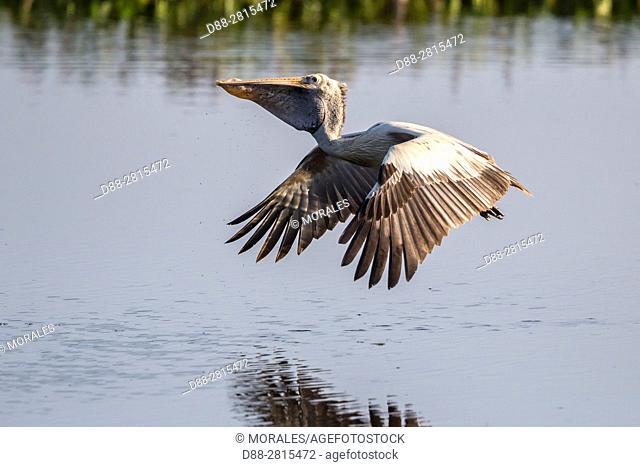 Sri Lanka, Yala national park, Spot-billed pelican or grey pelican (Pelecanus philippensis), in flight