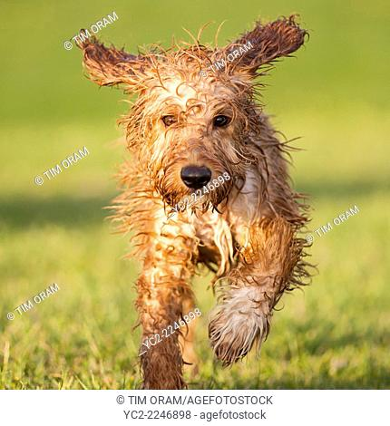 A Welsh Springer Spaniel crossed with a poodle dog running in a field