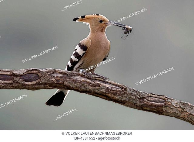 Hoopoe (Upupa epops) with cricket on branch, Middle Elbe Biosphere Reserve, Saxony-Anhalt, Germany