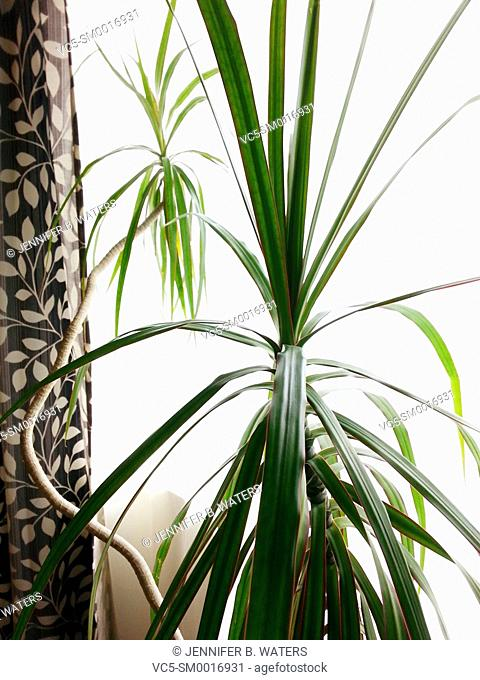 A Dragon Palm indoors in a window