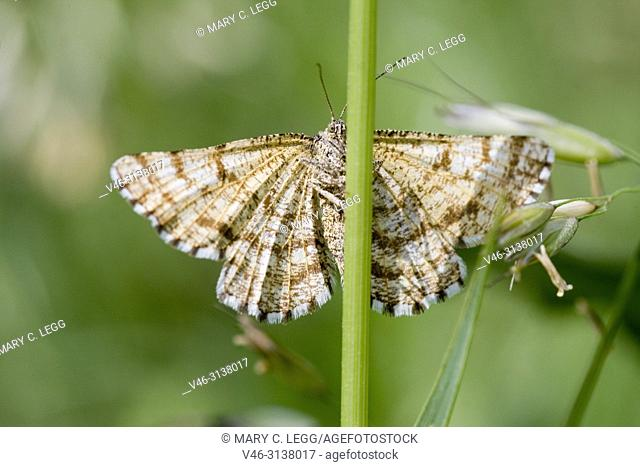 "Common Heath, Ematurga atomaria is a Geometrid moth or Looper caterpillar with with wingspan 24â. ""34 mm. Looks similar to Latticed Heath Moth"