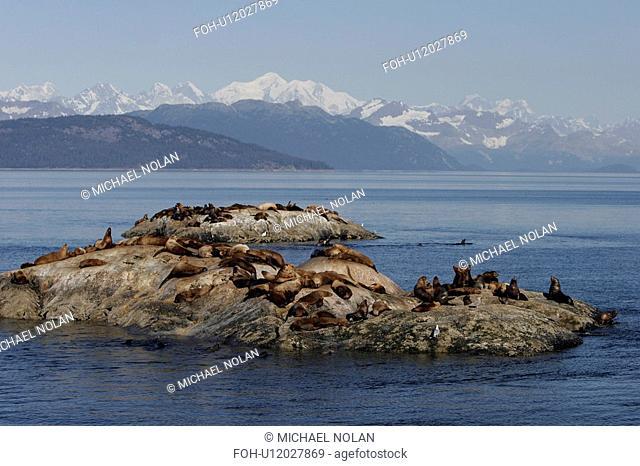 Steller Northern Sea Lions Eumetopias jubatus hauled out on small reef Glacier Bay National Park, Southeast Alaska, USA