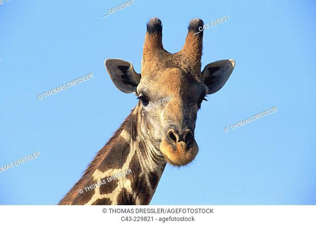 Southern Giraffe (Giraffa camelopardalis giraffa). Kaokoveld. Namibia
