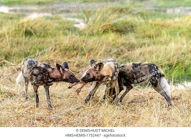 Botswana, Khwai river game reserve, wild dog (Lycaon pictus), hunting and eating an impala at dawn