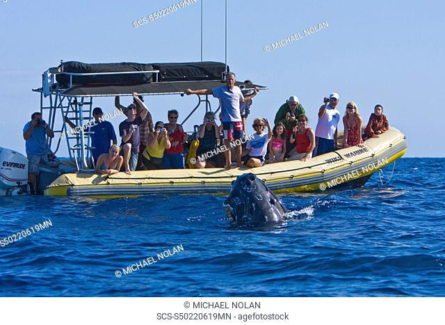 Commercial whale watching boat with adult spy-hopping humpback whale Megaptera novaeangliae in the AuAu Channel between the islands of Maui and Lanai, Hawaii