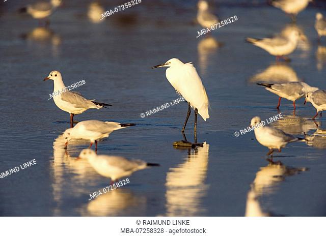 Little Egret, Egretta garzetta, and Black-headed Gull, Chroicocephalus ridibundus, Saintes-Maries-de-la-Mer, Parc naturel régional de Camargue