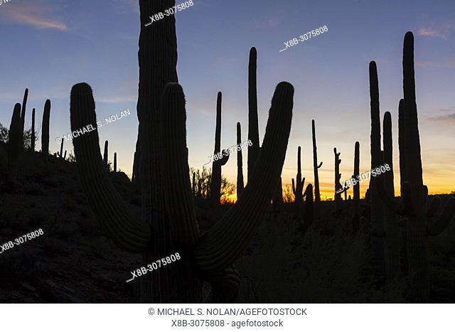 Giant saguaro cactus, Carnegiea gigantea, at dawn in the Sweetwater Preserve, Tucson, Arizona, USA