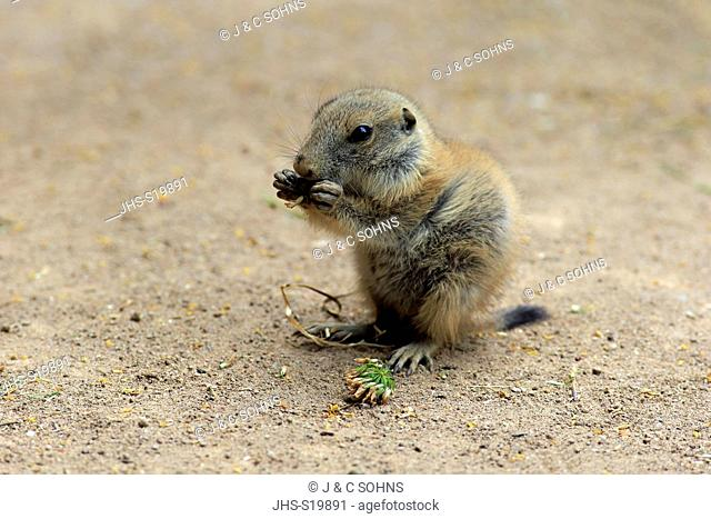 Black Tailed Prairie Dog, (Cynomys ludovicianus), young feeding, Northamerica