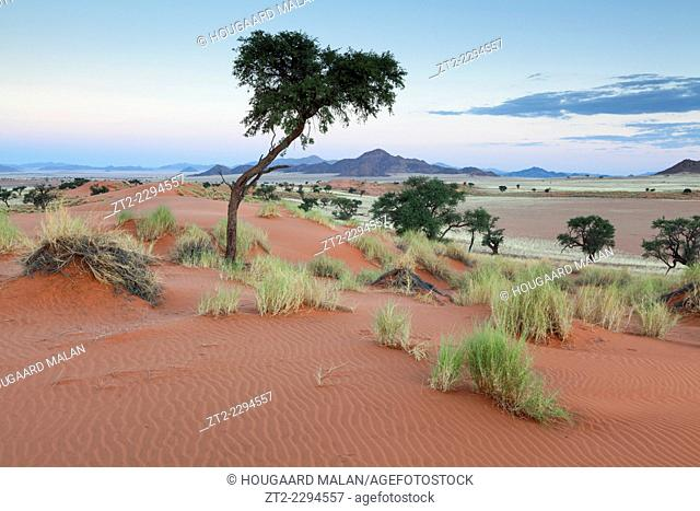 Landscape view of a camelthorn tree atop a dune in pastel sunset colours. Namib Rand, namibia