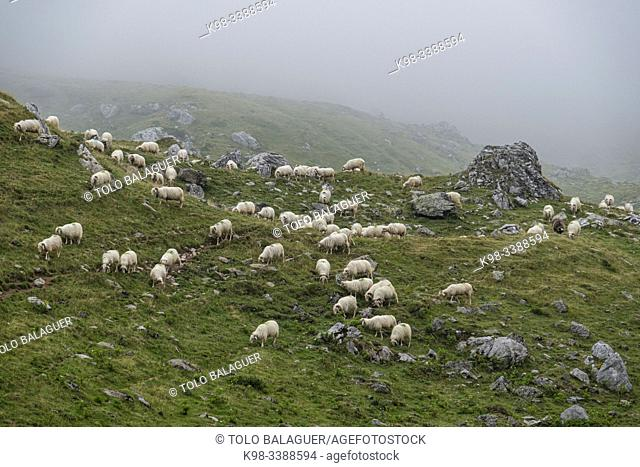 flock of sheep near Anaye's cabin, high Pyrenean route, Aquitaine region, department of Pyrénées-Atlantiques, France
